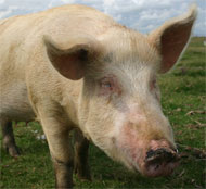 image for Ex-commando captures runaway pig