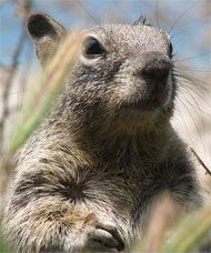image for Cape Ground Squirrel Study Proves Wanking Necessary to Avoid STDs