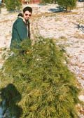 image for Government Bans Christmas Trees